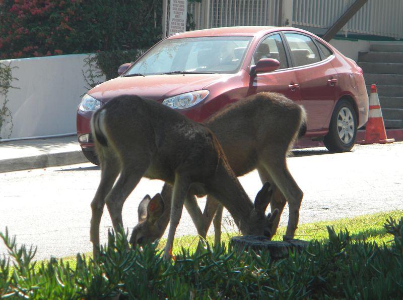 Deer-AFI 074uw