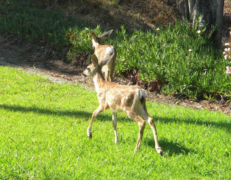 Deer-AFI-089uw